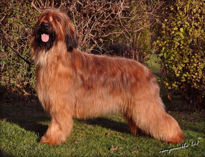 briard I'M BEST STAR of Moravia Campanella