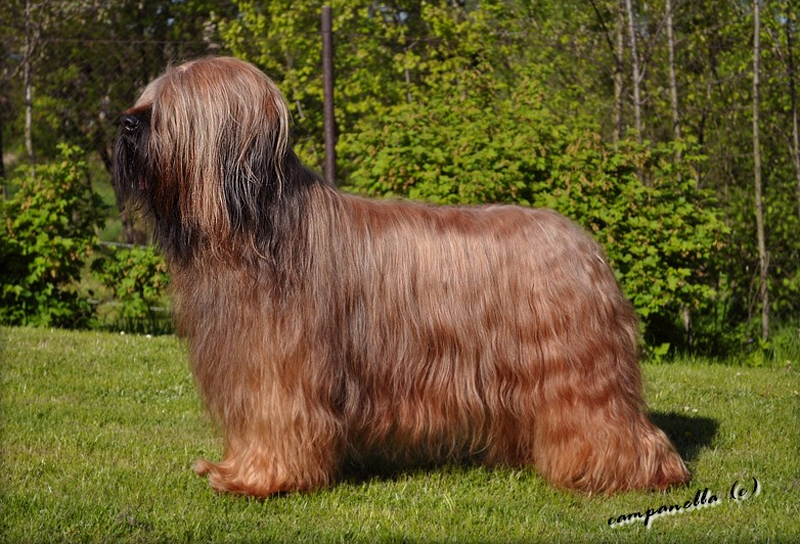briard USUALLY THE BEST Moravia Campanella